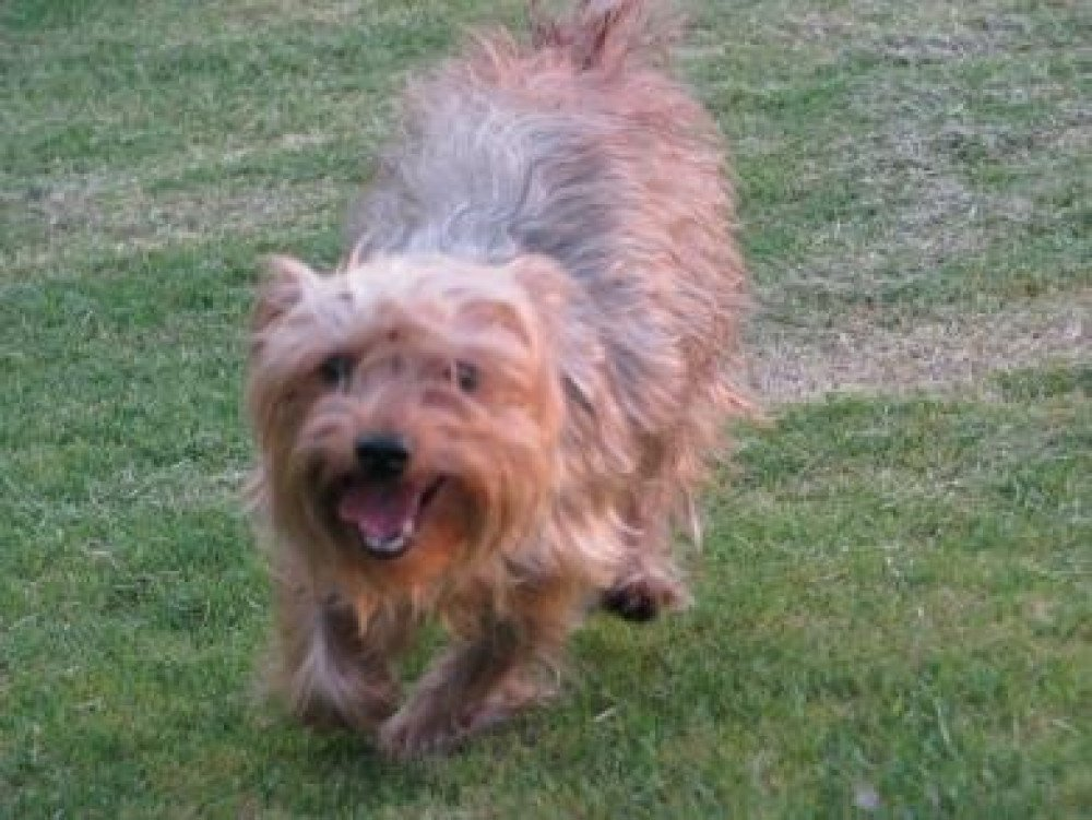 Reunited Female Dog (Grey/Chocolate, Yorkie)
