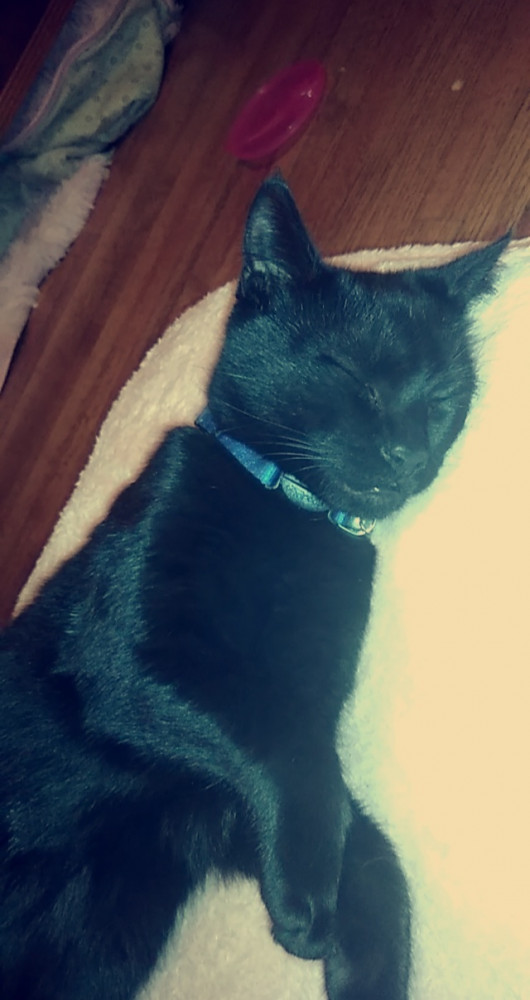 Lost Male Cat (Black, Domestic Short hair)