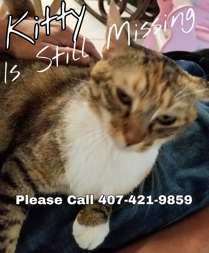 Lost Female Cat (White black grey orange brown, Calico Tortie with white paws, chest and belly)