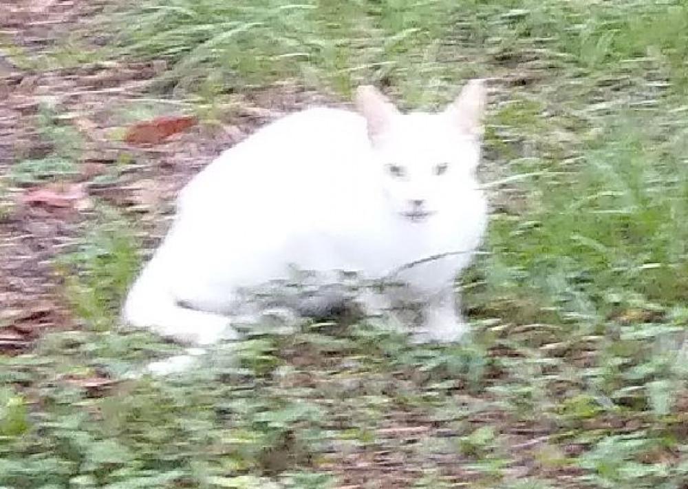 Found Female Cat (white, na)