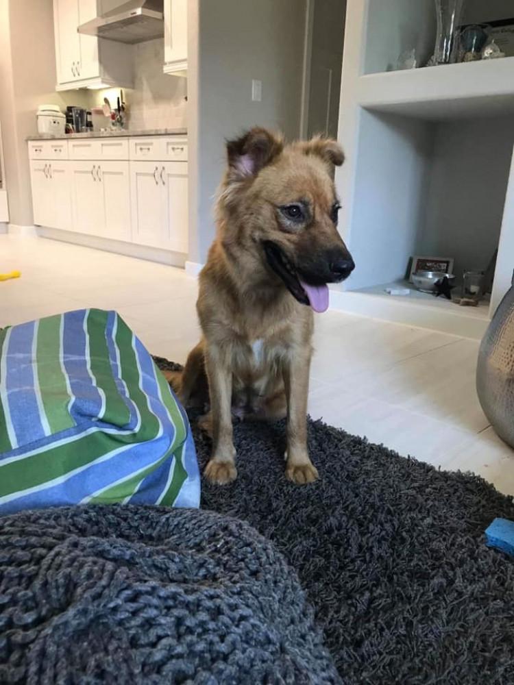 Reunited Female Dog (Red-brown, German Shepherd/Golden Retriever mix)