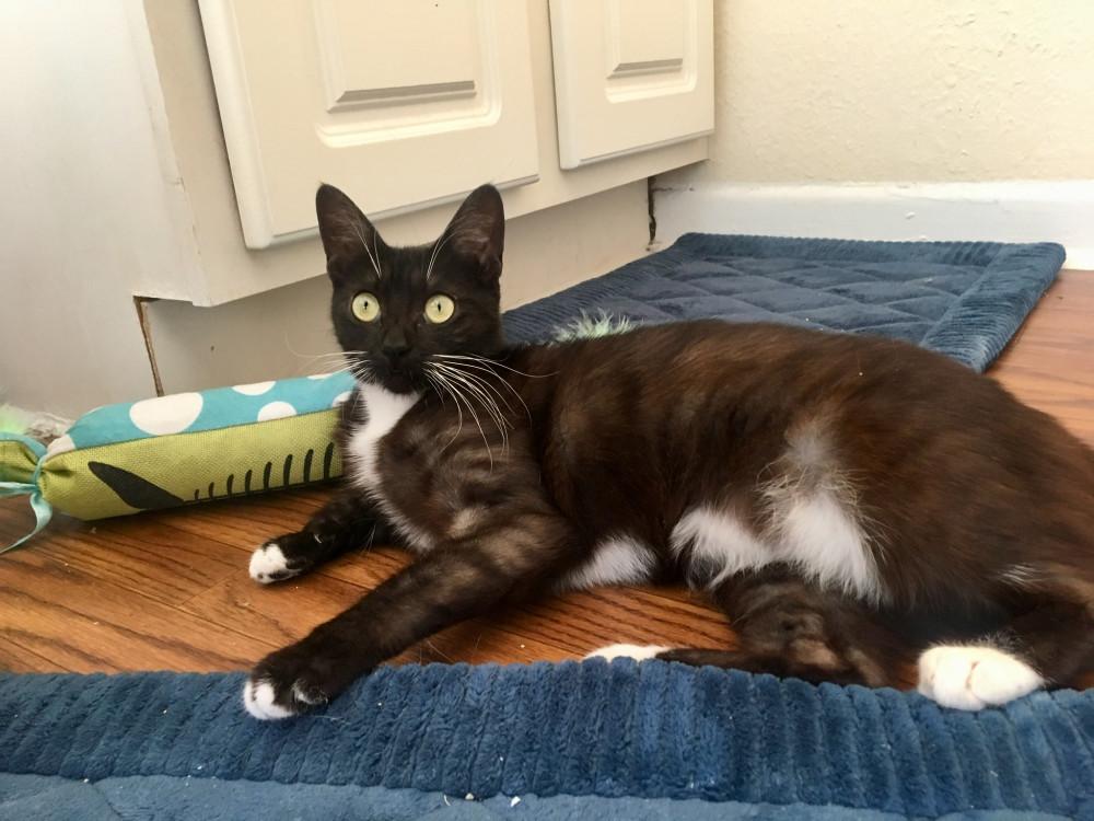 Reunited Female Cat (black coat, white chest, white paws, domestic short-hair)