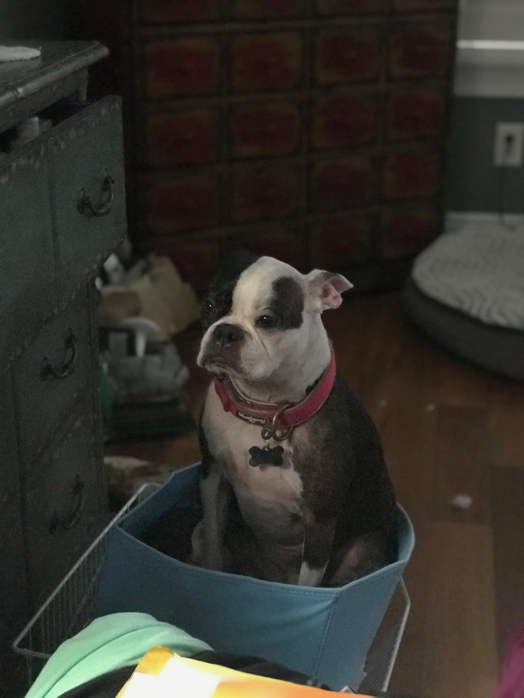 Reunited Female Dog (Black/White/Brindle, Boston Terrier)