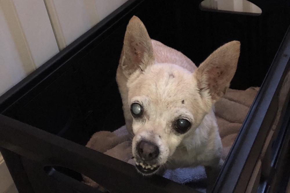 Reunited Male Dog (Tan, Chihuahua)