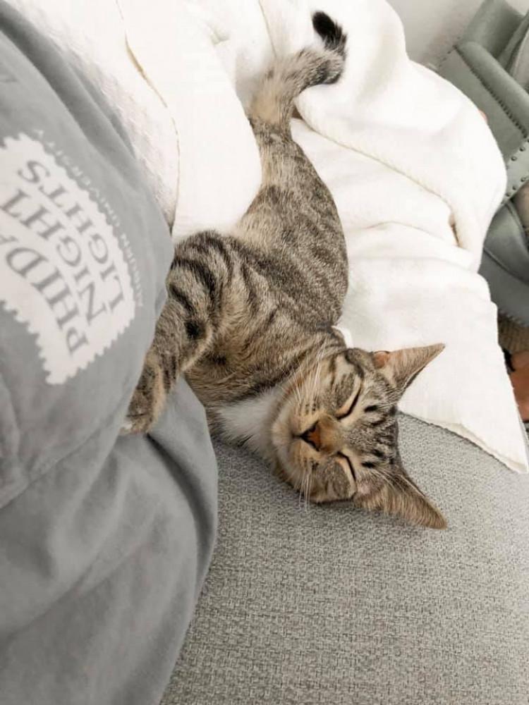Reunited Female Cat (Grey/Brown, Domestic Shorthair Tabby)