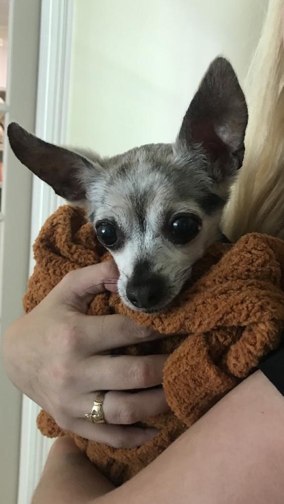 Reunited Female Dog (Black body, Chihuahua)