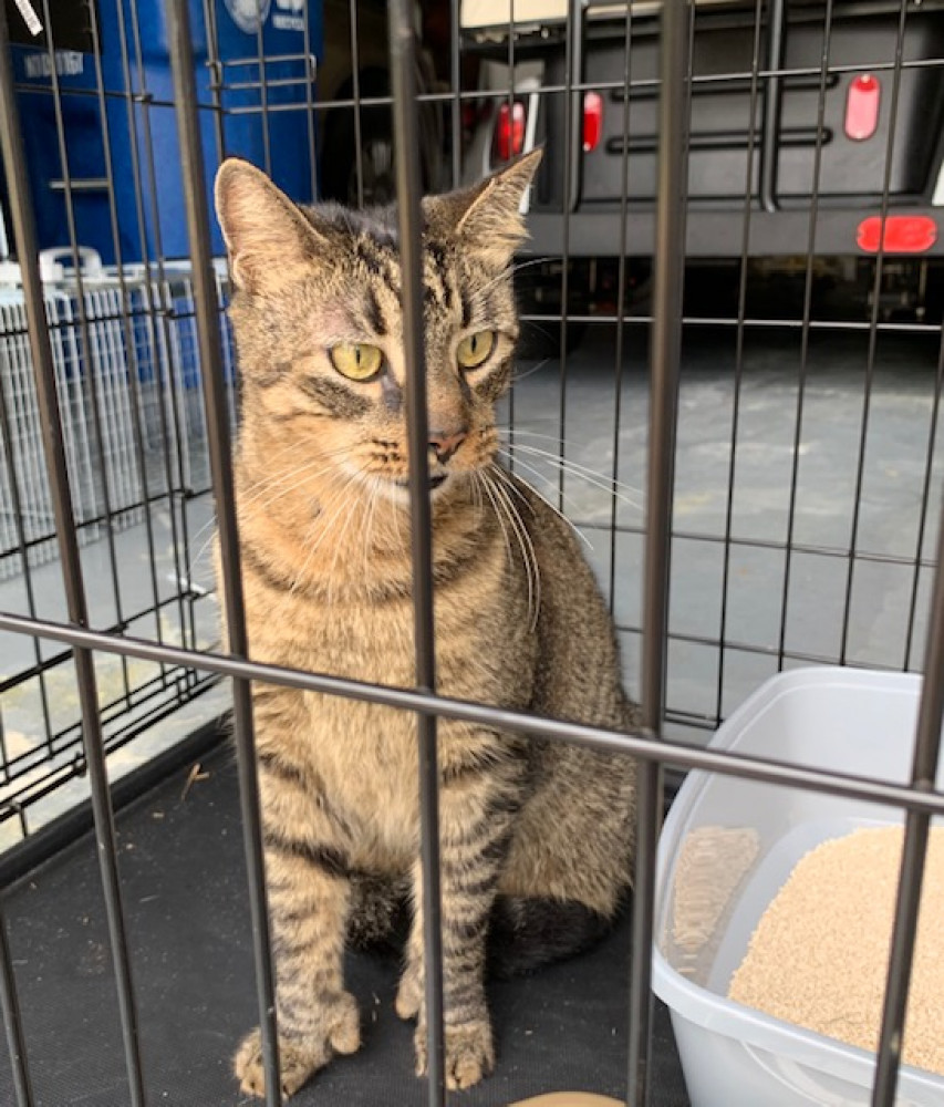 Found Male Cat (brown striped, brown tabby)