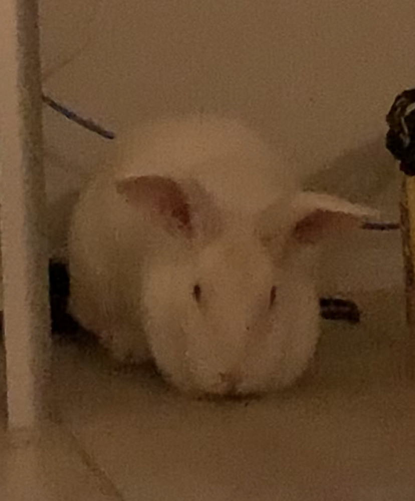 Found Female Other Pet (White, Rabbit)