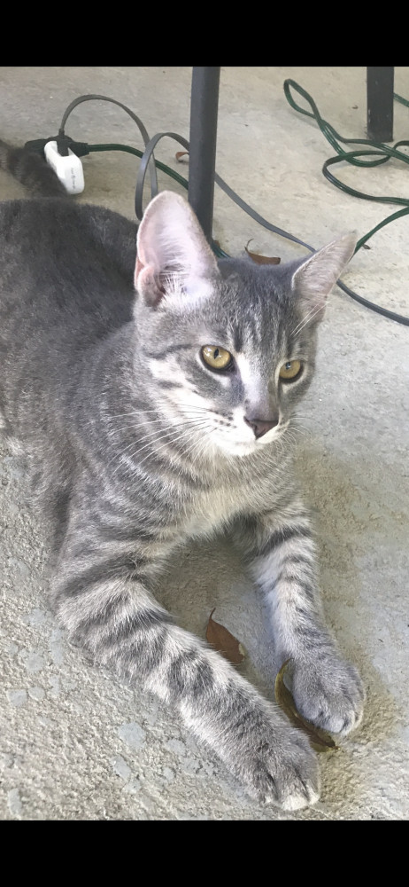 Lost Male Cat (Grey, Short hair Tabby)