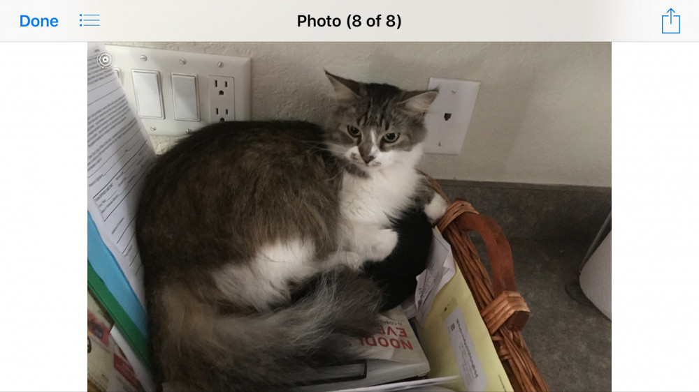 Lost Female Cat (Gray And White long hair, Long hair)