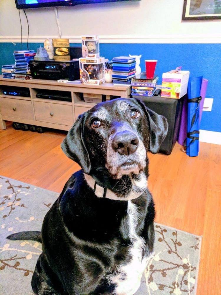 Reunited Male Dog (Black, Lab mix)