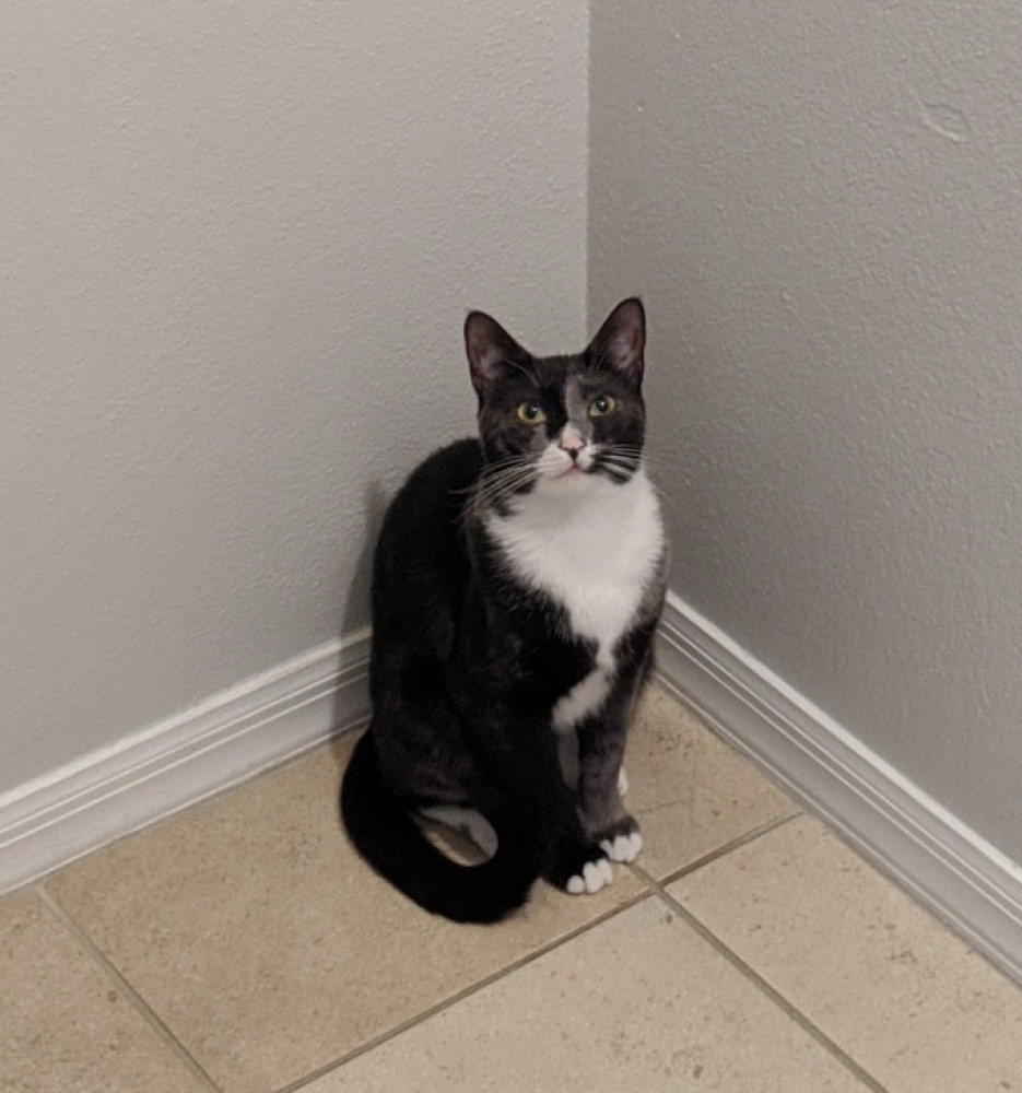 Reunited Female Cat (Grey and white, Domestic shorthair)