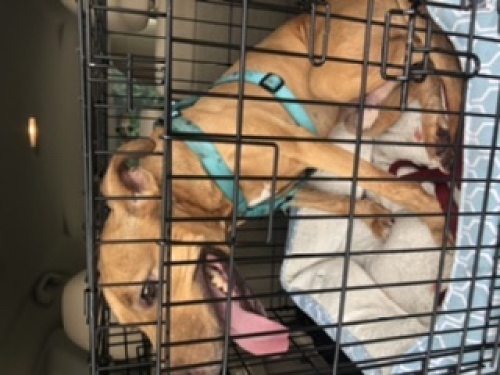 Reunited Male Dog (Red/brown, Mixed)