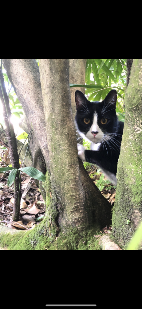 Reunited Male Cat (Black and white, Mix)