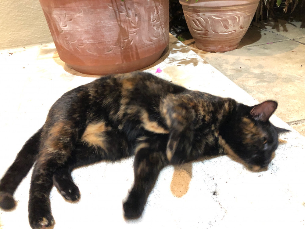 Found Female Cat (Mostly black w/ brown patches, Tortoiseshell)