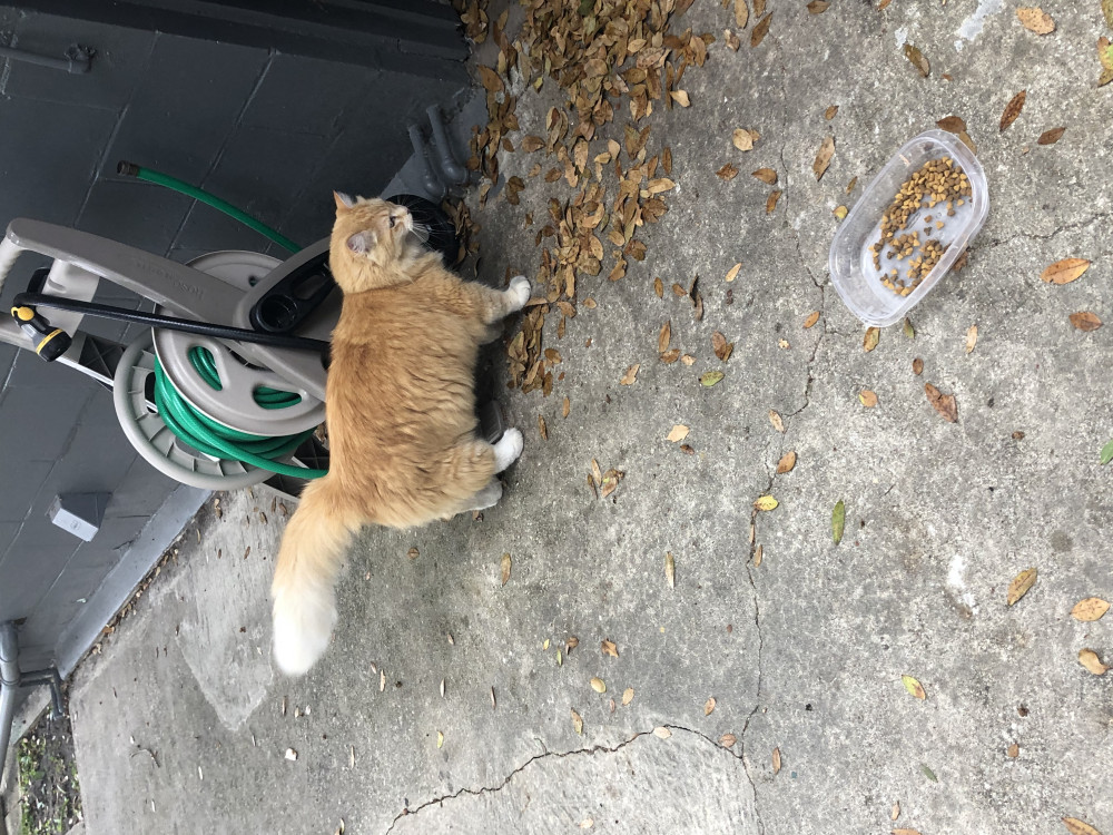 Reunited Male Cat (Orange and white, Maine Coon)