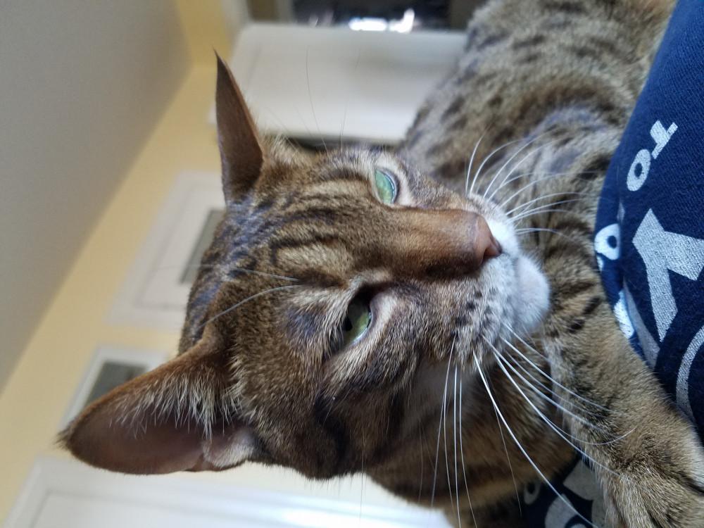 Reunited Female Cat (brown, Ocicat)