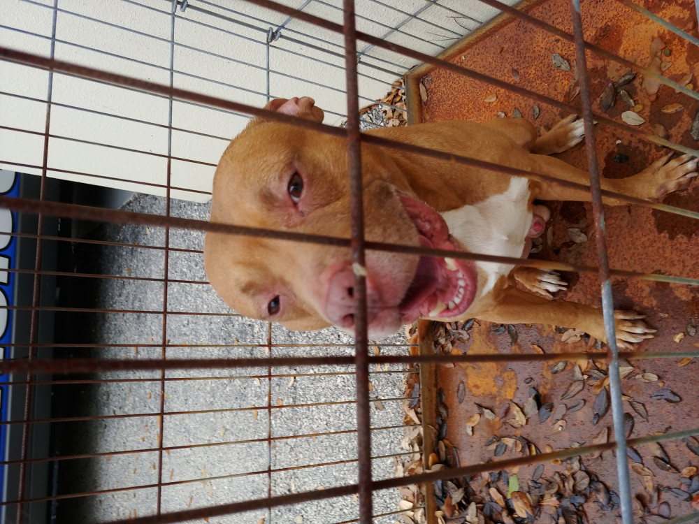 Found Male Dog (Tan and White, Pit bull)