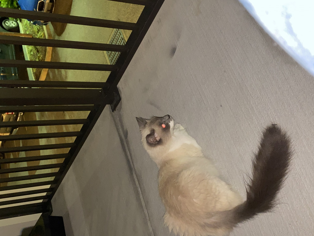 Reunited Female Cat (White and gray, Balinese)