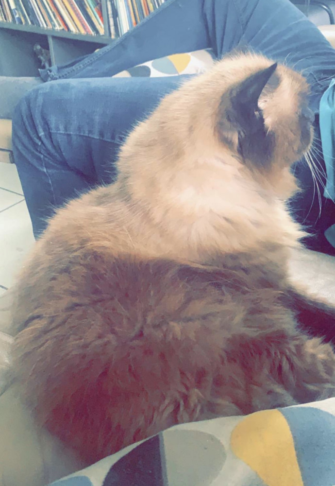 Lost Male Cat (Brown, Himalayan)