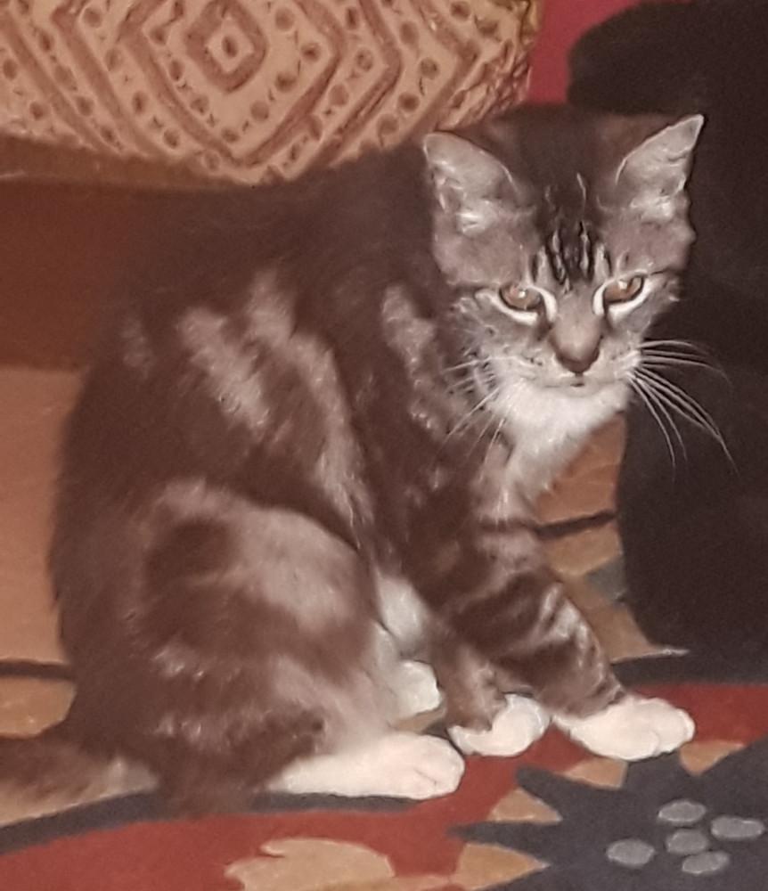 Reunited Female Cat (black & white, tabby)