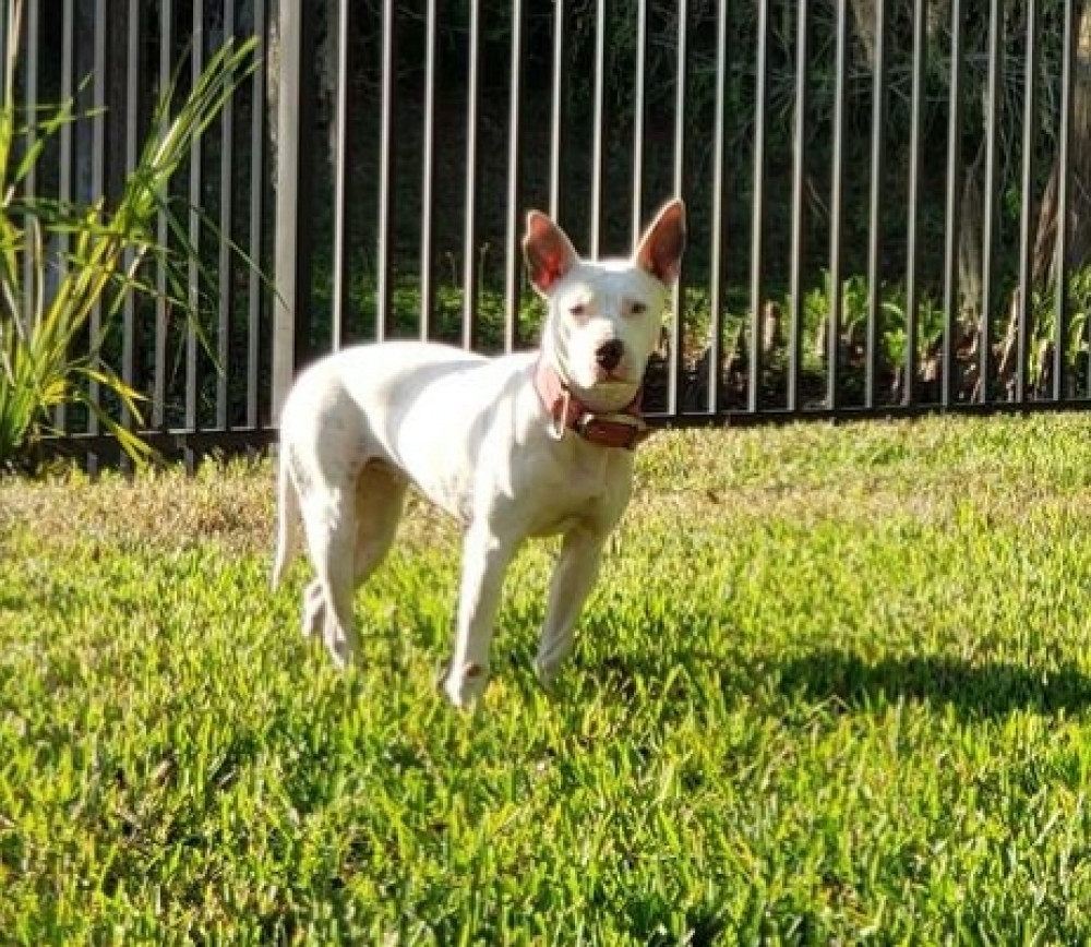 Found Female Dog (white, mix)