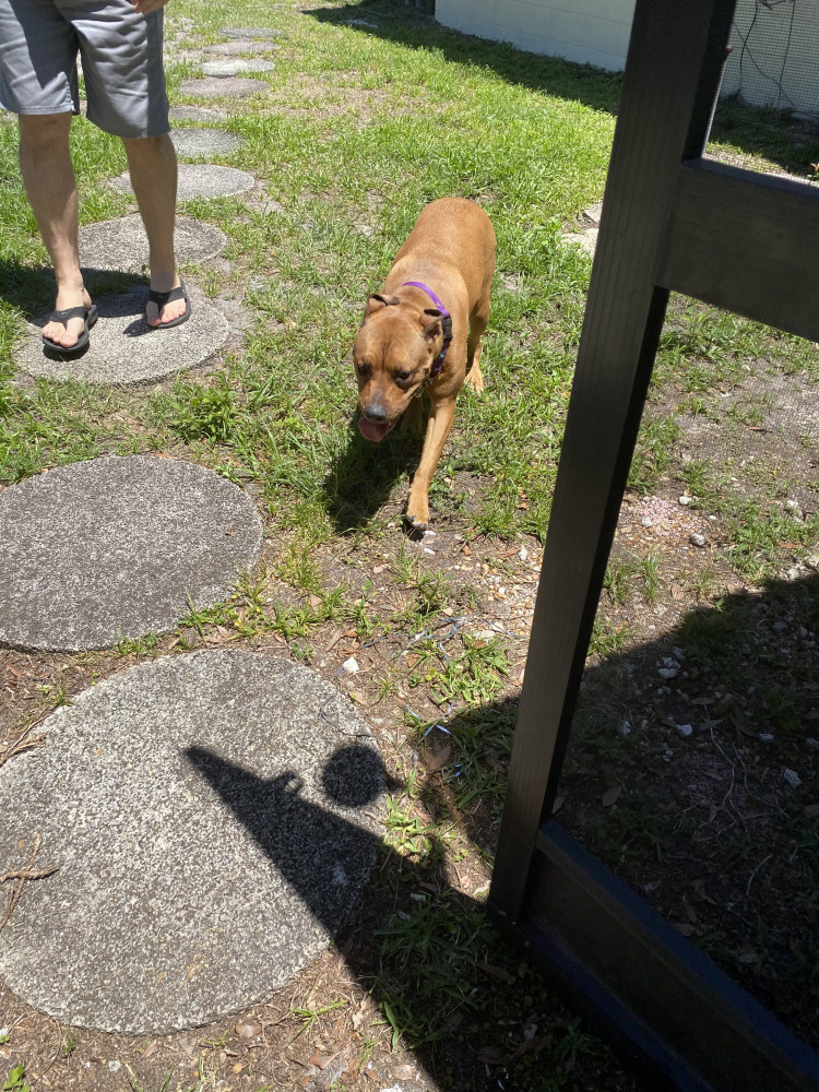Found Female Dog (Brown, Pit bull)