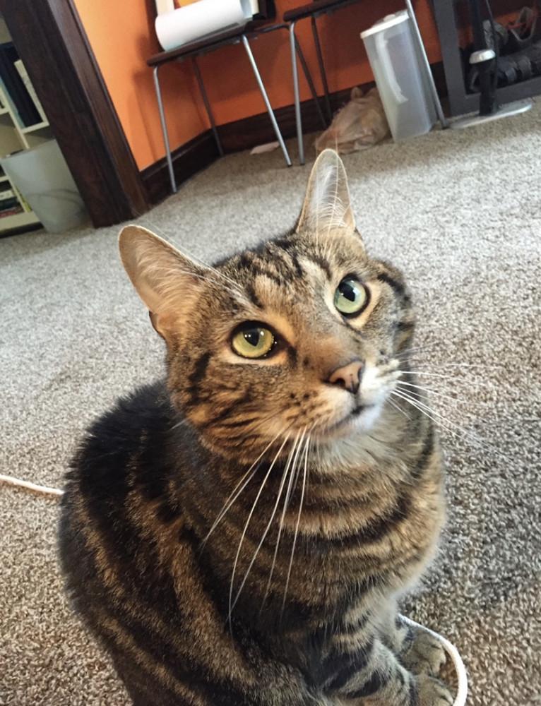 Lost Male Cat (Black, grey, orangish, Grey tabby)