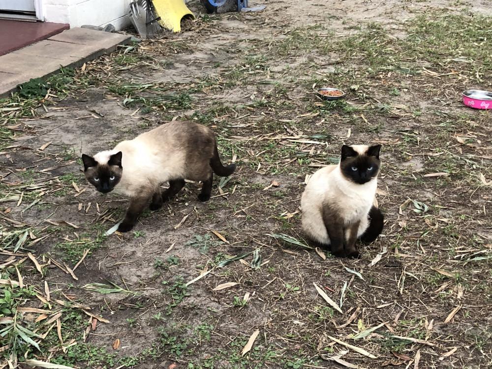 Lost Male Cat (Cream, Siamese)