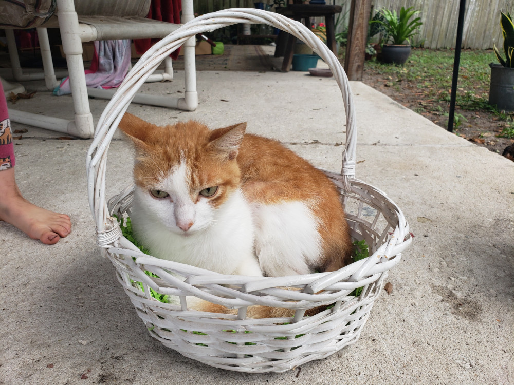 Lost Male Cat (Orange and white, American shorthair)
