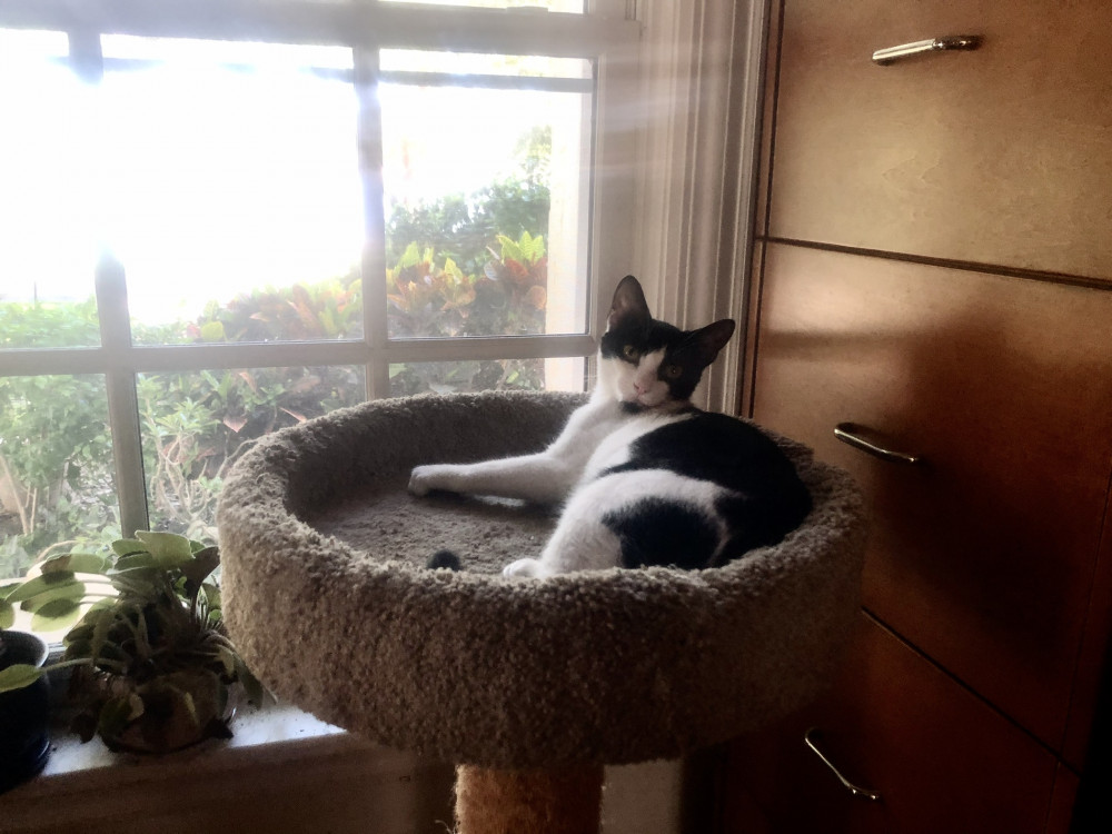 Lost Female Cat (black and white, DSH)