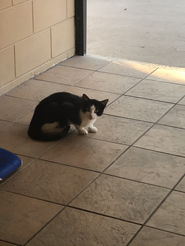 Found Male Cat (Black and white, Unknown)