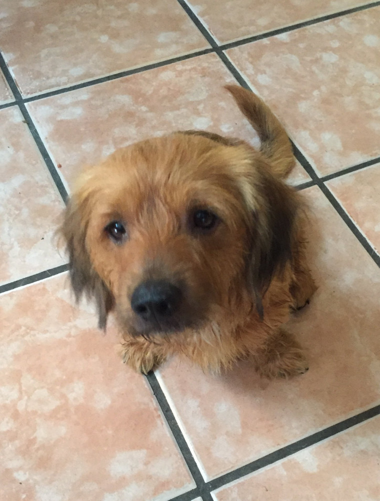 Found Male Dog (Blond and brown and black, Mixed)