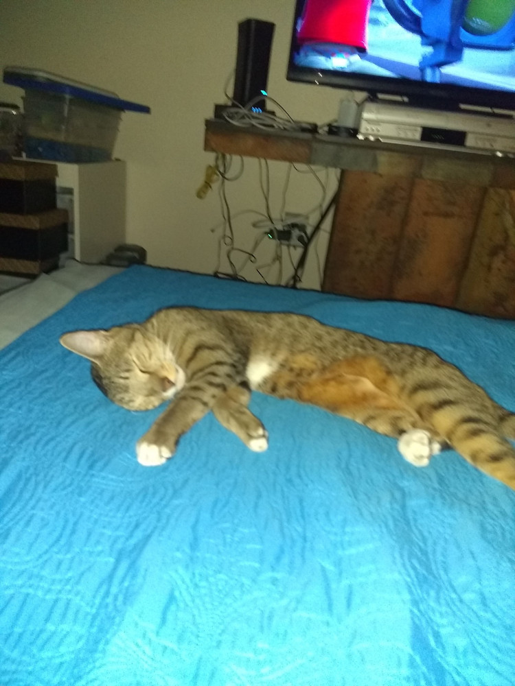 Lost Male Cat (Brownish, Striped)