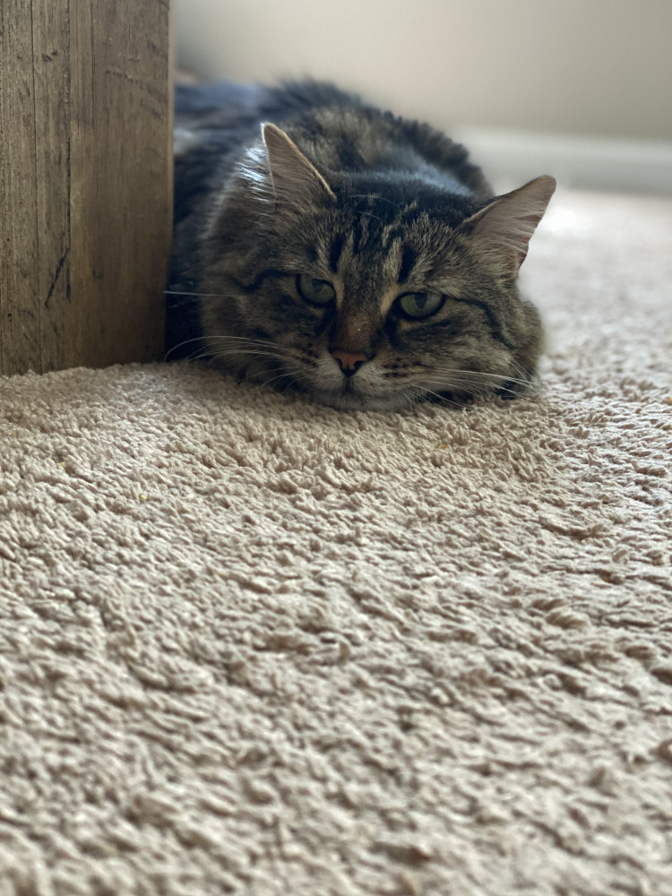 Lost Male Cat (Colored tabby, Domestic longhair)
