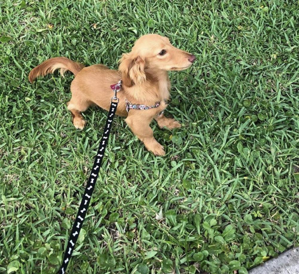 Lost Female Dog (Golden cream, Dachshund)