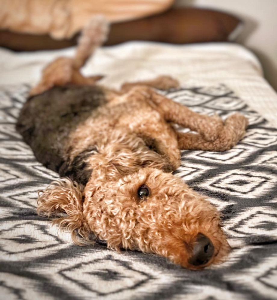 Reunited Male Dog (Black and Tan, Airedale Terrier)