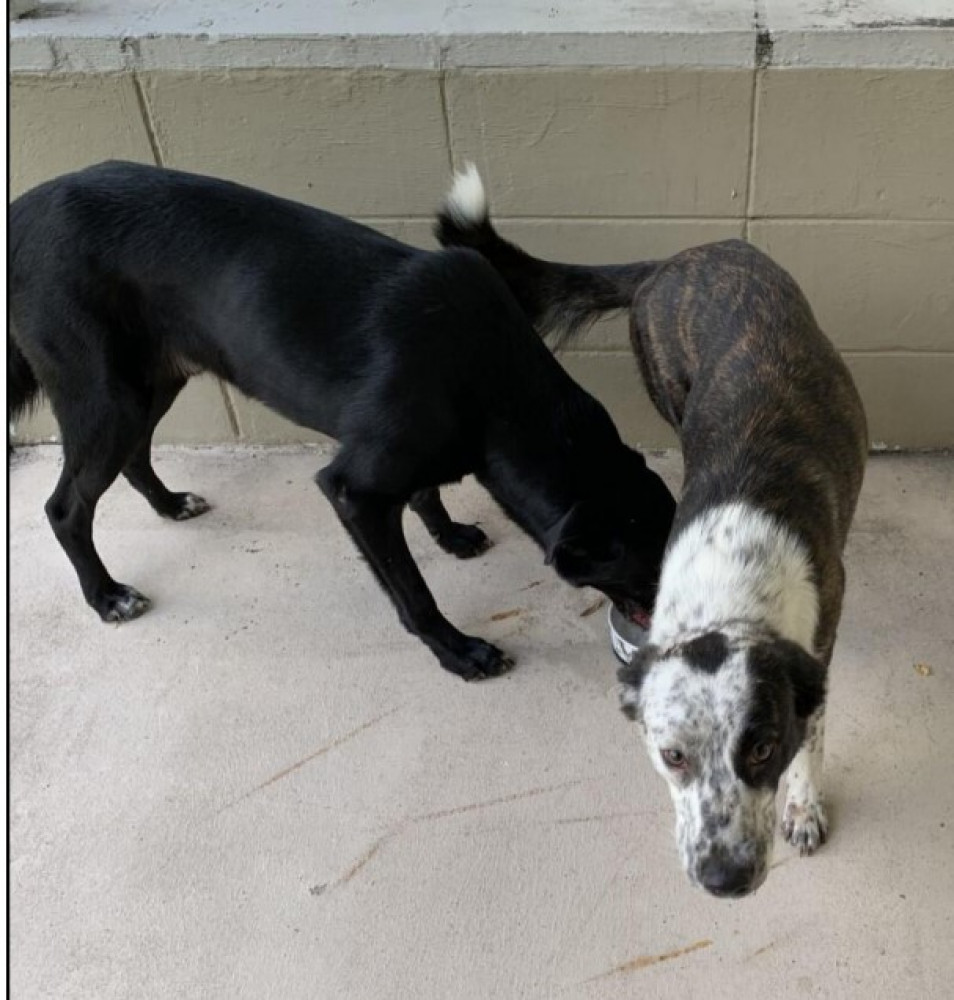 Reunited Male Dog ((M)Black w/a little white (F) brown/ white with black spots, (M) lab mix and (F) order collie mix)