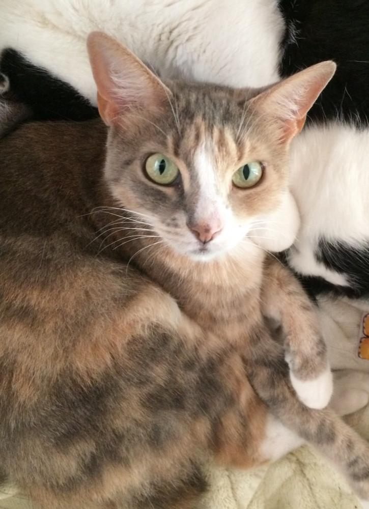 Reunited Female Cat (orange gray white, DSH)