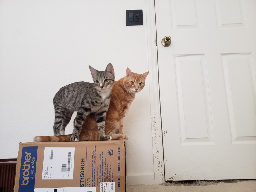 Reunited Male Cat (Orange, Tabby)