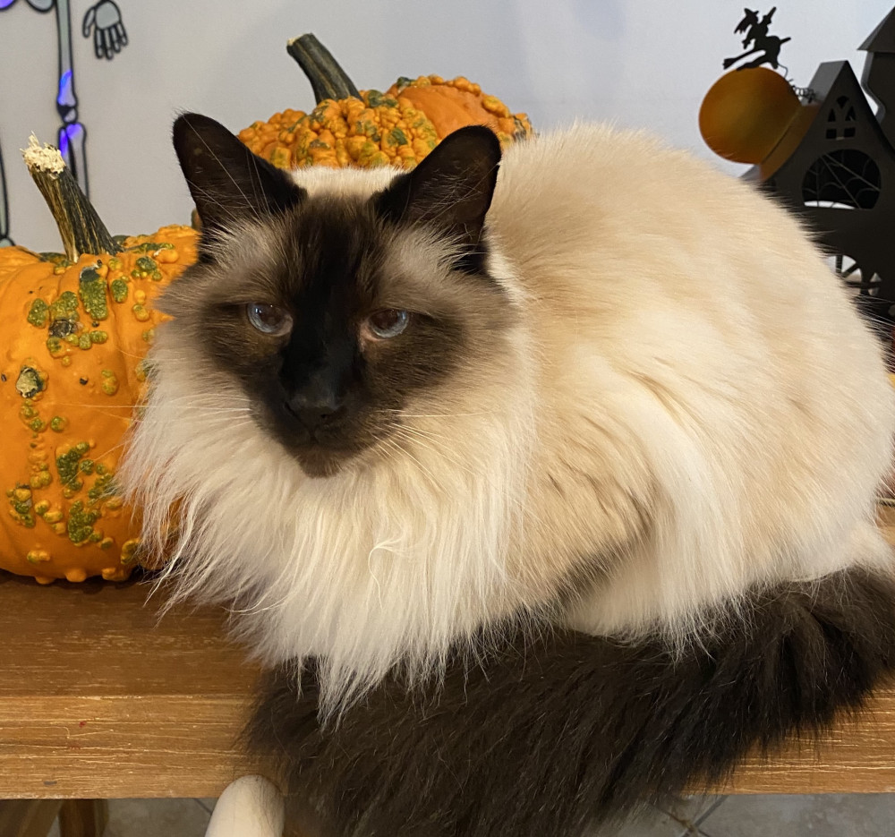 Lost Male Cat (Light brown and dark brown, Half-Siamese, half-Himalayan)