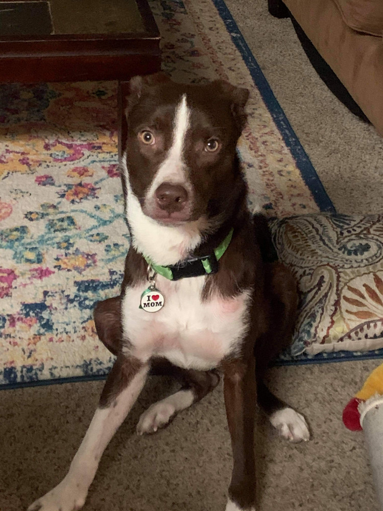 Reunited Male Dog (Brown, Lab mix)