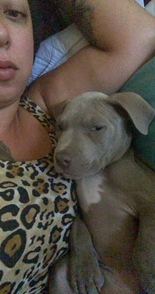 Lost Male Dog (Blue/Grey, Pitbull (Blue Nose))