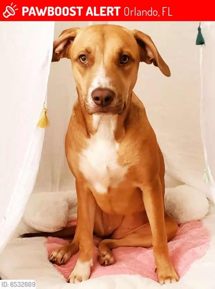 Reunited Female Dog (Brown/White, Vizla/Lab)