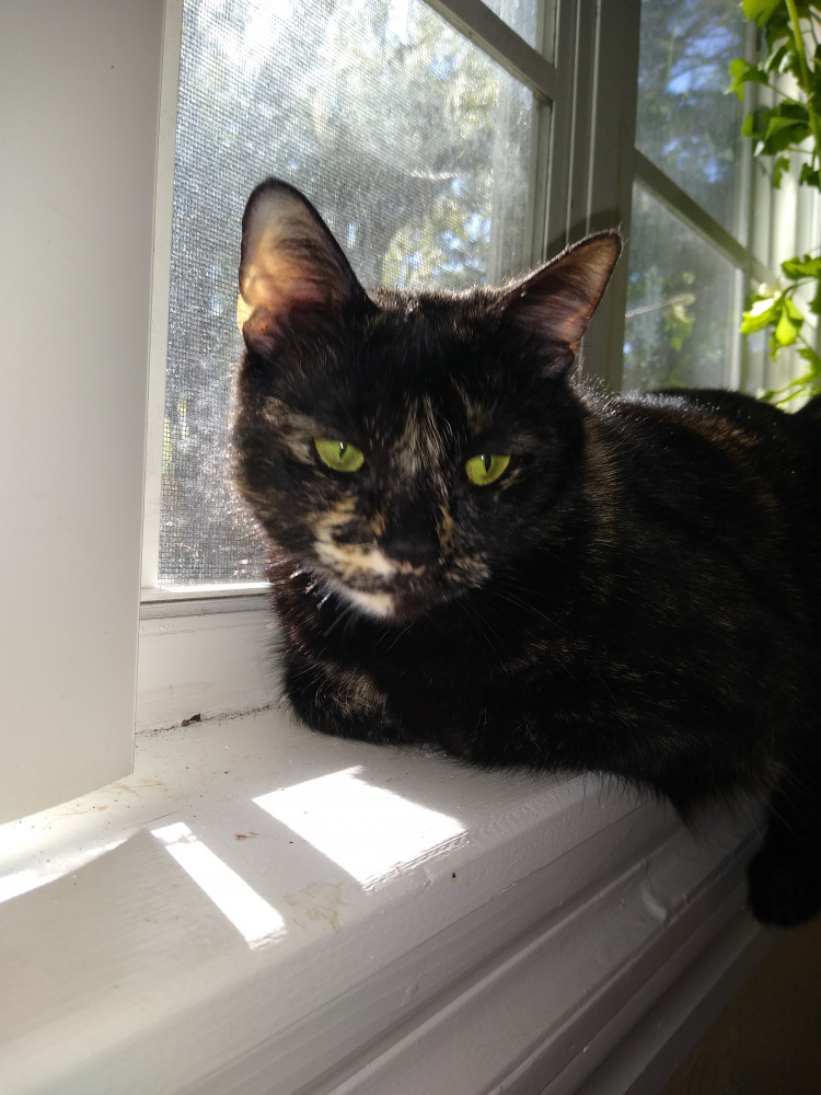 Lost Female Cat (Tortie, Cat)