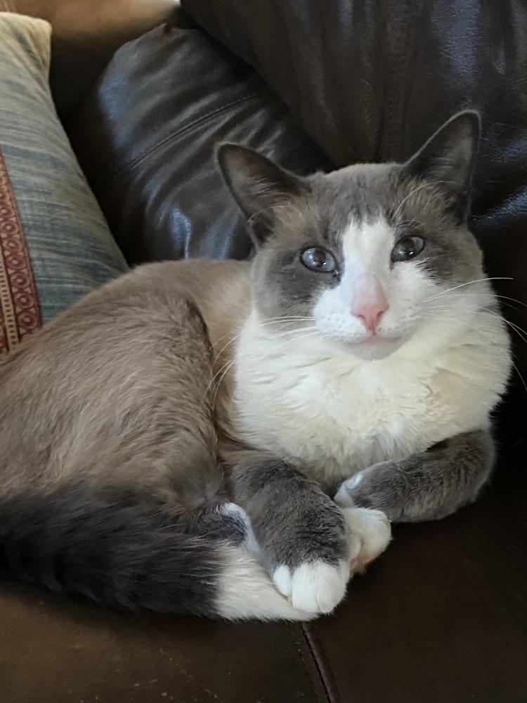 Reunited Male Cat (White, dark grey and light grey, Siamese)