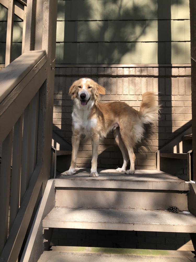 Lost Male Dog (blonde, golden retriever/saluki)
