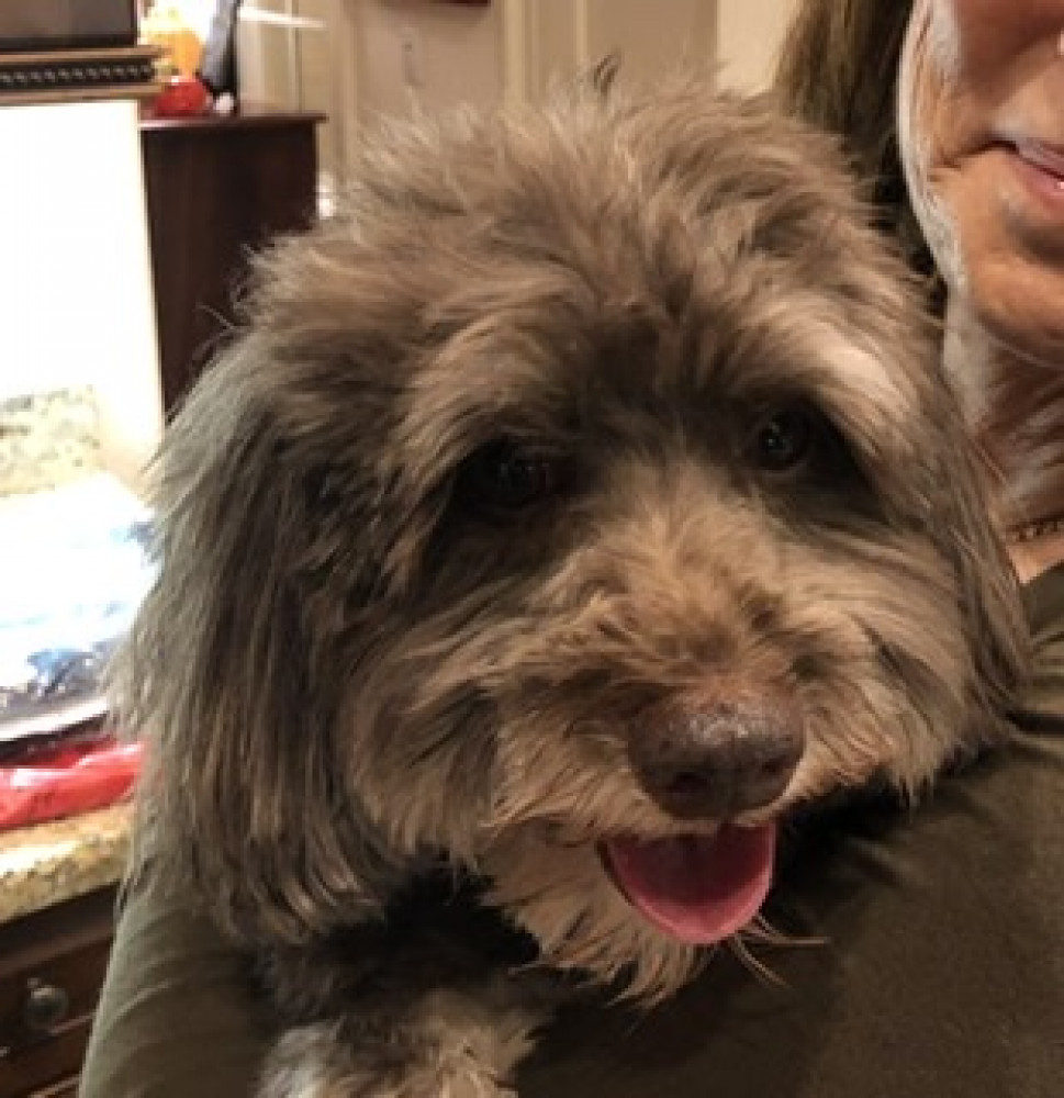 Reunited Female Dog (Brown/grey, Small poodle  sachems mix maybe)