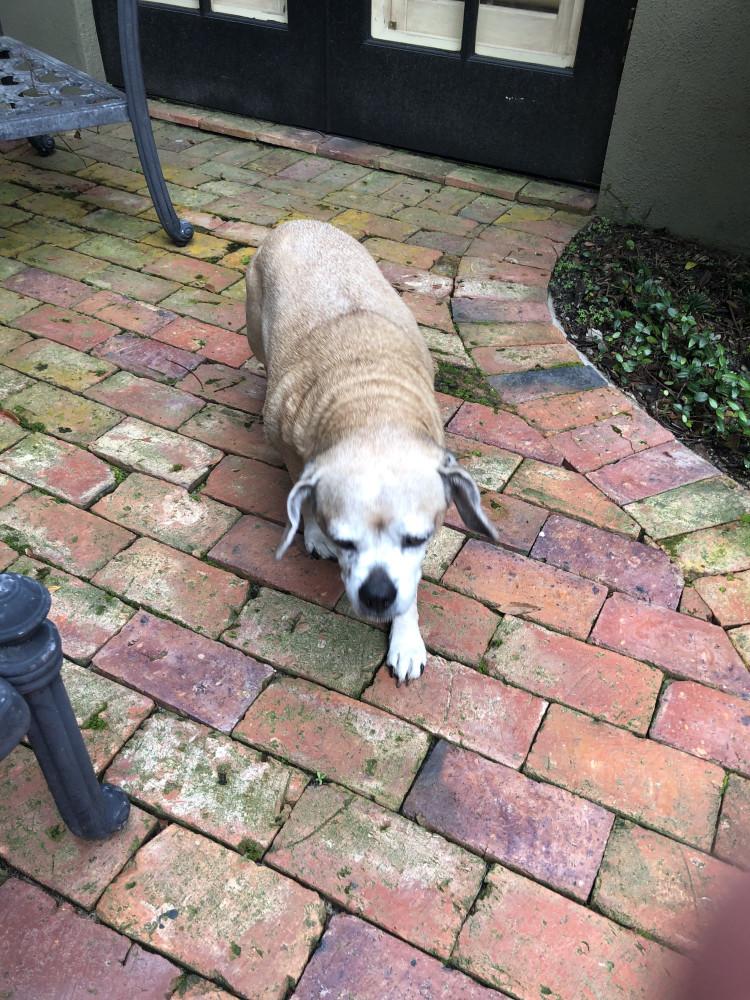 Reunited Female Dog (Tan, Beagle-ish)