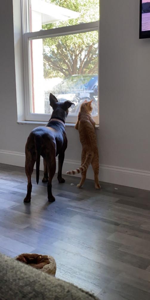Lost Male Cat (Orange, Tabby)